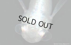 画像2: H-3907  激レア★水泡眼 螺鈿光スーパーブルー (普通体型)   Lサイズ 1ペア